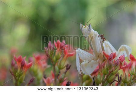 White praying mantis on flower in garden