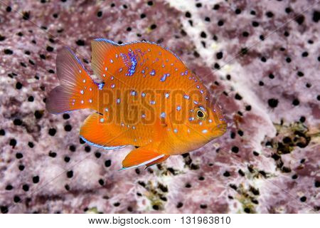 A juvenile garibaldi, the state fish of California, is characterized by its iridescent blue spots, which disappear as the animal matures into an adult.