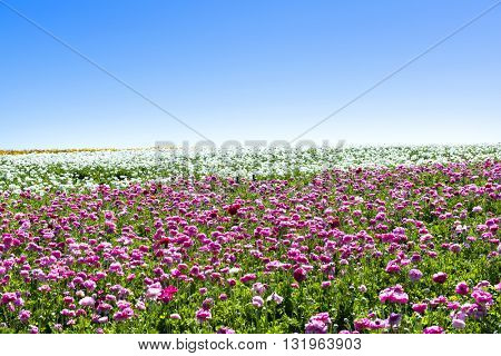 A field of pink and white blooming buttercup flowers during a bright, sunny day shows the beauty of the blooms in springtime