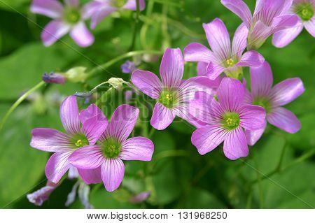 Trifolium, clover flower macro against a green background.