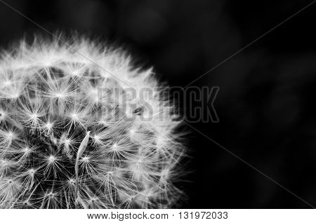 close up black and white of a dandelion