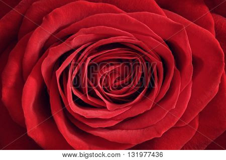 Red rose close up background concept for love, valentine's day, anniversary or thank you gift