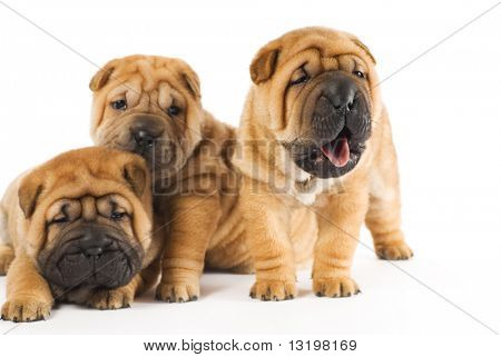 Beautiful sharpei puppies isolated on white background