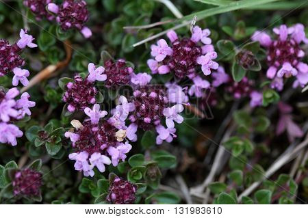 A macro photo broad-leaved thyme or lemon thyme (Thymus pulegioides) a wild growing species of thyme.
