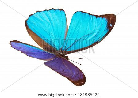 Closeup shot of blue butterfly (Morpho Menelaus) isolated on white background.