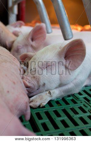 Piglet Suckling In Enclosure