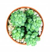 Sedum burrito Moran the succulents plant in pot on white background overhead or top view poster