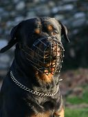 portrait of purebred mastiff rottweiler and his muzzle poster