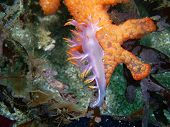 Dendronotus albus Nudibranch on Compound Colonial Tunicate found off of central California's Channel Islands poster