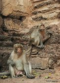 two brown monkeys sitting on a rock poster