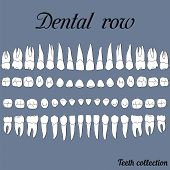 anatomically correct teeth - incisor cuspid premolar molar upper and lower jaw front and top views in vector on white poster