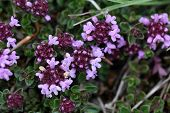 A macro photo broad-leaved thyme or lemon thyme (Thymus pulegioides) a wild growing species of thyme. poster