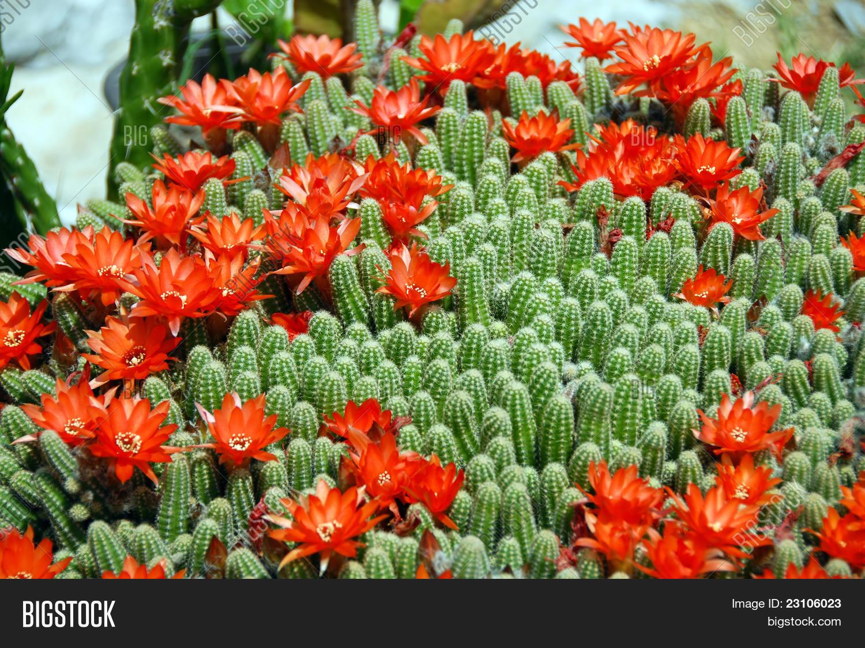 Imagen Y Foto Cactus Flores Rojas (prueba Gratis)