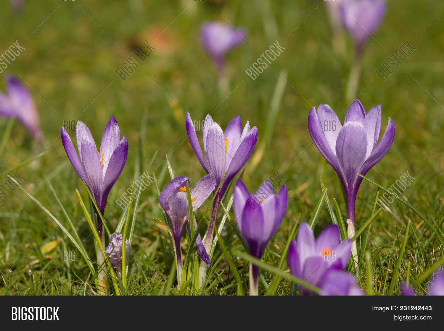 Mass Purple Dutch Image Photo Free Trial Bigstock
