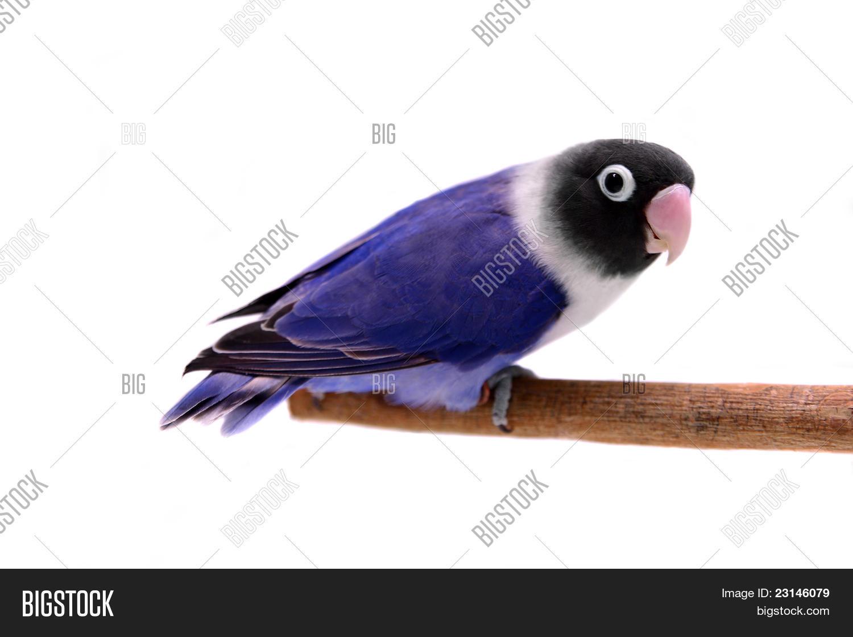 Violet Masked Lovebird Image Photo Free Trial Bigstock