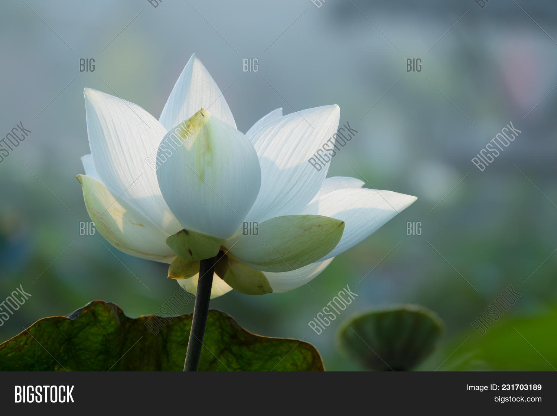 White lotus flower royalty high image photo bigstock white lotus flower royalty high quality free stock image of a white lotus flower izmirmasajfo Choice Image