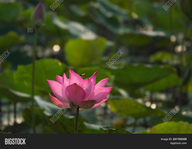 Pink Lotus Flower Image Photo Free Trial Bigstock