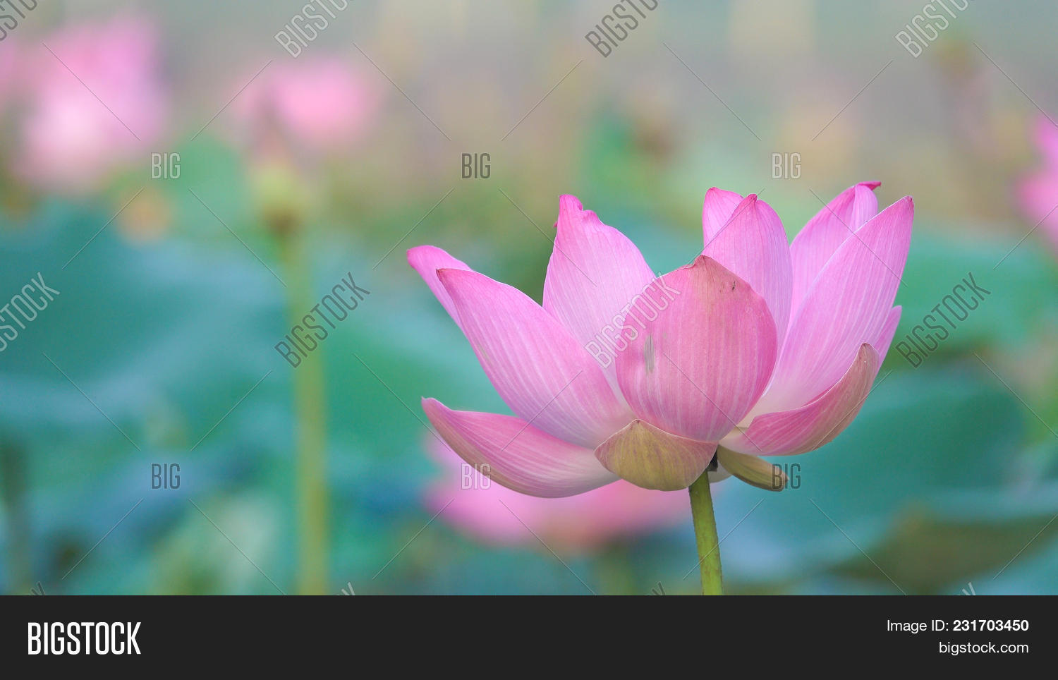 Pink lotus flower image photo free trial bigstock pink lotus flower royalty high quality free stock image of a beautiful pink lotus flower mightylinksfo