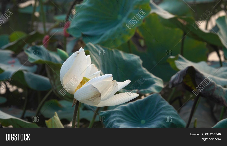 White lotus flower royalty high image photo bigstock white lotus flower royalty high quality free stock image of a white lotus flower izmirmasajfo