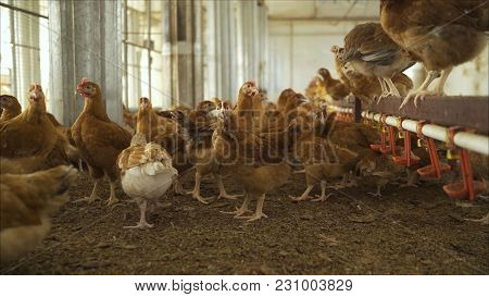 The Chicken On The Farm. Chicken In The Hen House. Poultry Farm With Chicken. Laying Hen On Poultry