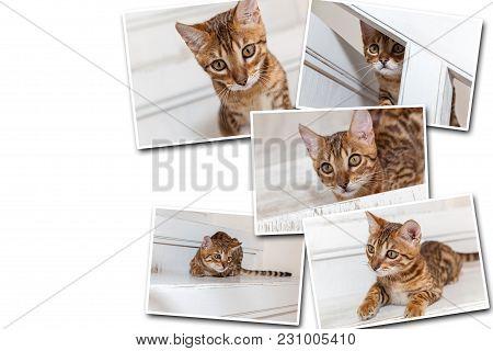 Collage On White Background Bengal Kitten. Beautiful Muzzle Of Bengal Kitten Close Up.