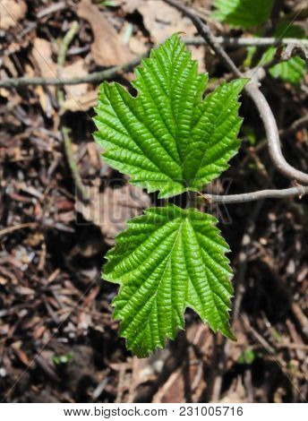 Paired Emerging Bright Green Leaves Of Maple Leaved Viburnum In A Spring Forest.