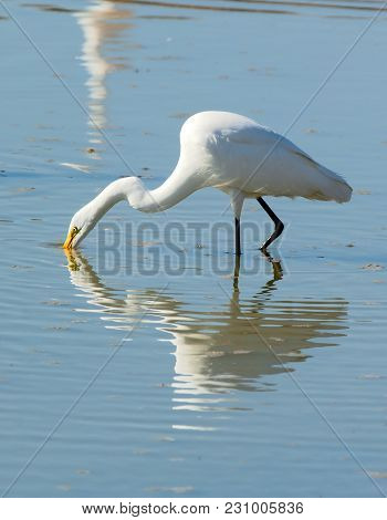 A Great White Egret Poking His Beak Into An Arizona Pond Looking For Food.