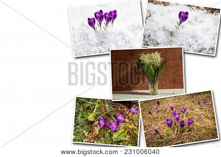 Collage Of Purple Crocus. Purple Crocus Bloomed In The Spring Forest In The Snow. Collages Of Purple