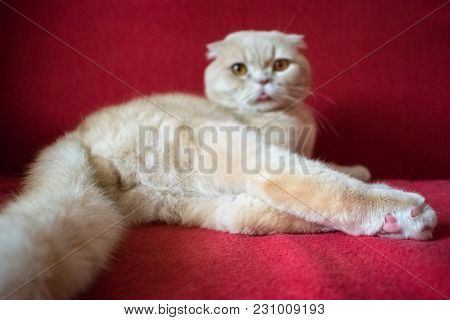 Adult Scottish Fold Cat Lies On A Red Background. Castrate A Male Cat. Feline Castration Neutering S