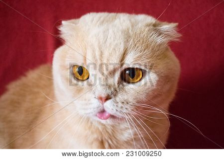 Close Up Beautiful Scottish Fold Cream Tabby Lop-eared Cat With Big Orange Eyes. Cute Funny Cat With