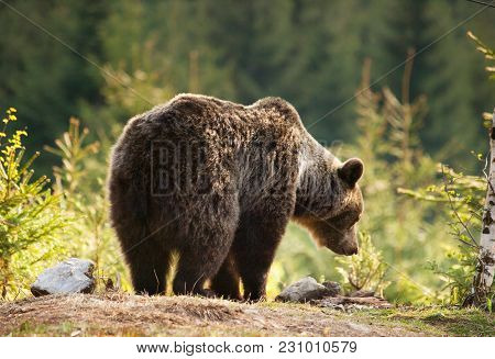 Brown Bear In Mala Fatra Mountains In Slovakia - Ursus Actor