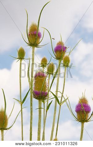 Spiky wild weed plant growing, dipsacus