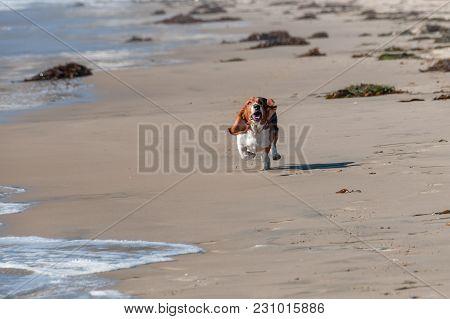 Basset Hound At Pismo Beach Pier California