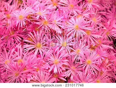 Flowering Plant In Aizoaceae Family: Pink Livingstone Daisies Or Buck Bay Vygies, Ice Plant Or Carpe
