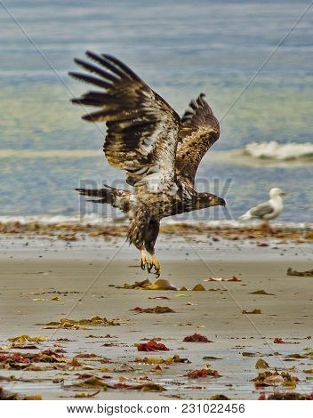 Juvenile Bald Eagle Landing On An Alaskan Beach Littered With The Discarded Remains Of Fish Which Ha