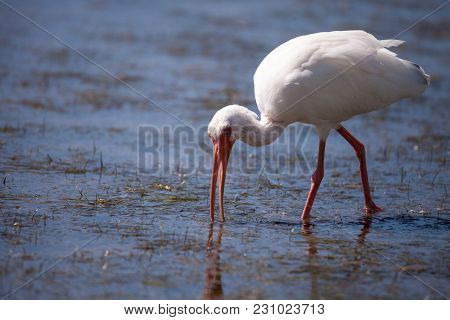 American White Ibis Eudocimus Albus Bird In A Pond At Tigertail Beach On Marco Island, Florida