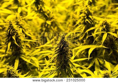 Marijuana Cultivation Indoor Growing  Cultivation In Gow Box Close Up