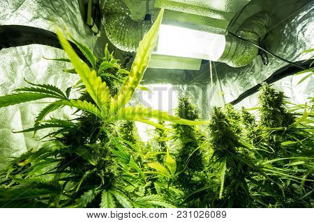 Marijuana Cultivation Indoor Growing Cultivation In Gow Box