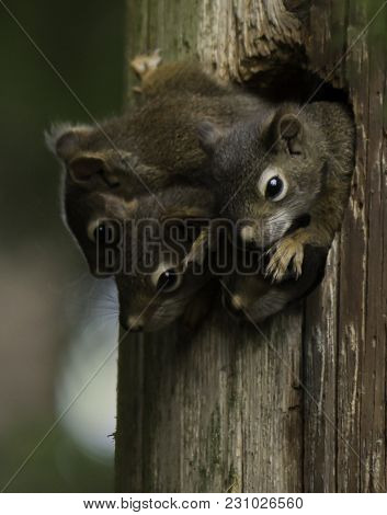 Young Squirrels In Their Home All Peeking Out