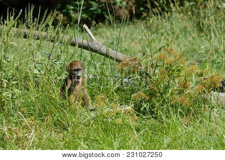 A Young, Captive Baboon Sits Alone In The Grass Taste Testing Different Weeds.