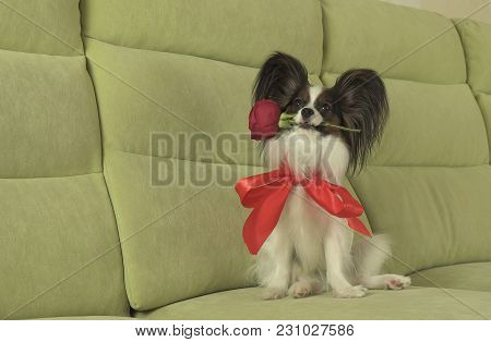 Dog Papillon Keeps A Red Rose In His Mouth In Love On Valentines Day