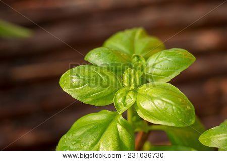 Fresh Green Basil Leaves Close-up, Fresh Organic Basil Plant Grows Up In Garden