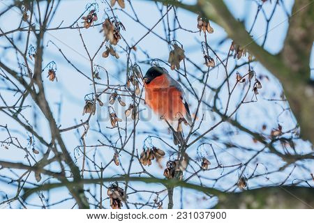 Bullfinch Bird Among The Branches Of A Tree On A Blue Background. Winter