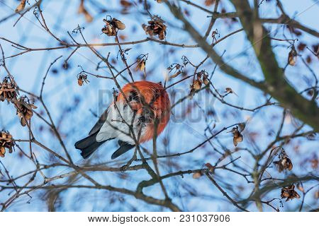 Bullfinch View From Below Sits On The Branches Of A Tree