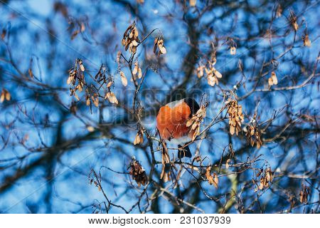 Bullfinch Feeds On Branches Of Dry Wood