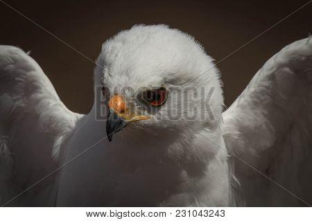 A Young White Goshawk Bird, Ready To Fly
