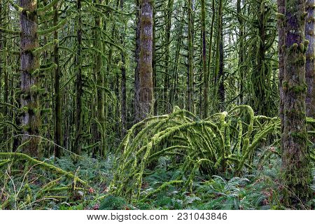 The Wet Forest, Trunks Of Trees And The Land Is Covered With Green Moss. It Is An Island Of A Fairy