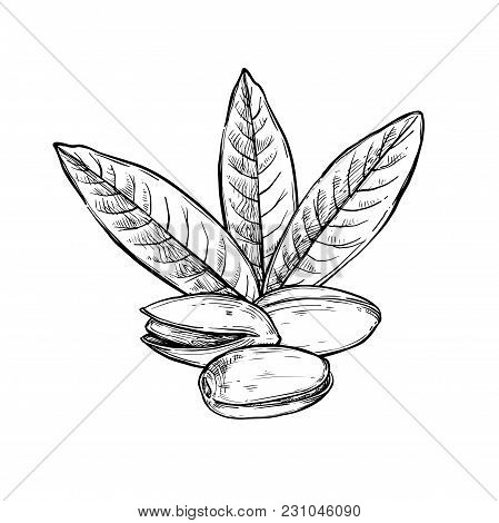 Pistachio  Isolated On White Background. Engraved  Illustration Of Leaves And Nuts Of Pistachio.
