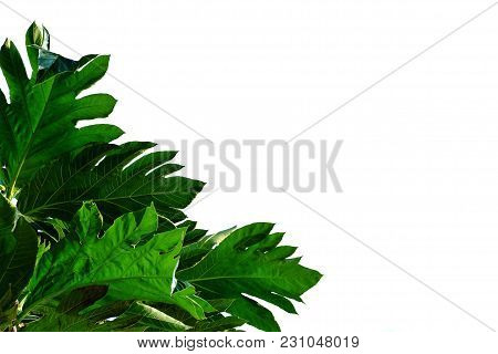Tropical Tree Leaves With White Isolated Background For Foliage Green Background