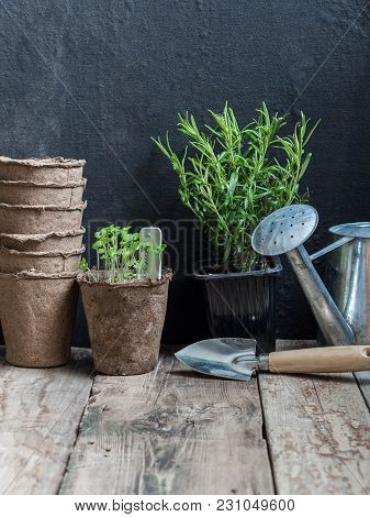 Rosemary In A Pot And Seedlings Of Basil In A Peat Pot, A Garden Spatula, A Stack Of Peat Pots And A